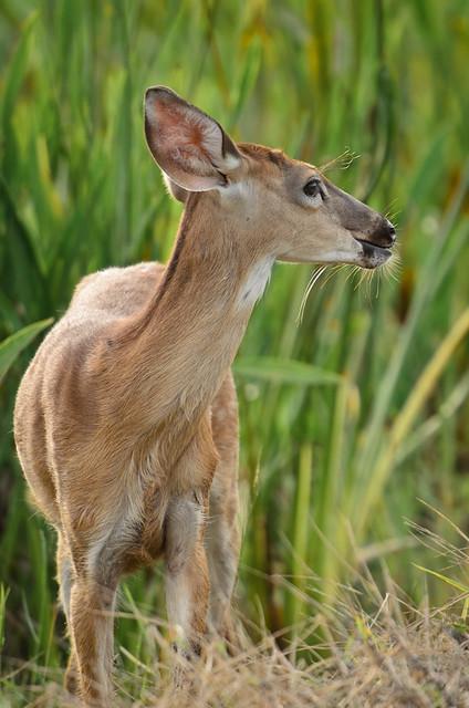 Young deer at Viera Wetlands