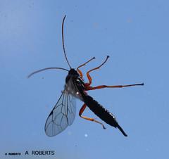 woodwasp siricidae