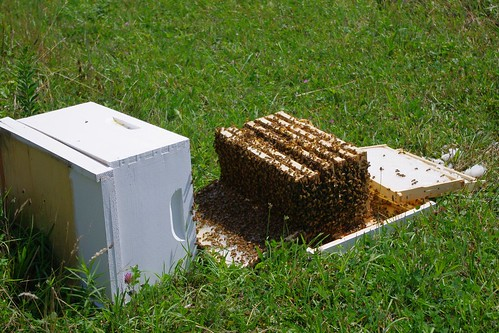 Knocked over hive