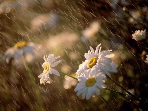 زهرة المطر