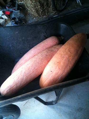 Wheelbarrow of pink banana squash