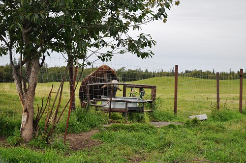 Musk Ox Chilling in the Water Trough, Palmer, Alaska