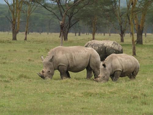 White Rhinos at Lake Nakuru