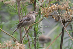 sparrow feeding on the ladies mantle seeds