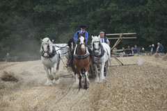 team of horses harvesting corn at the shrewsbury steam rally