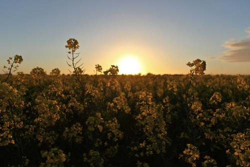 Sun sets on the canola field in Point Cook