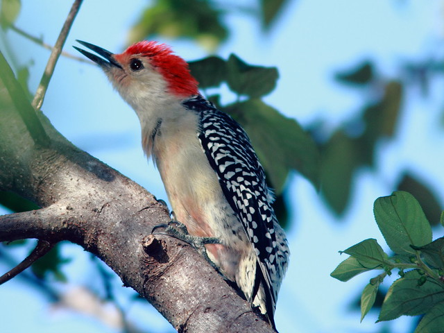 Red-bellied Woodpecker 2-20110916