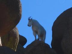 Bison Goat