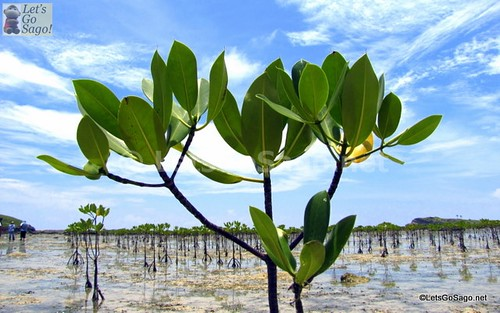 Close up of mangrove small plant (rock formation at background)
