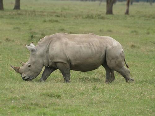 Young White Rhino at Lake Nakuru