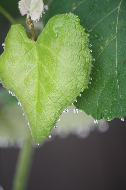 raindrops on grape leaves