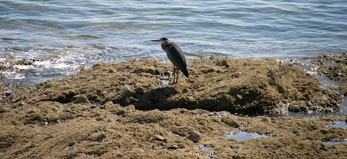Jersey coast heron