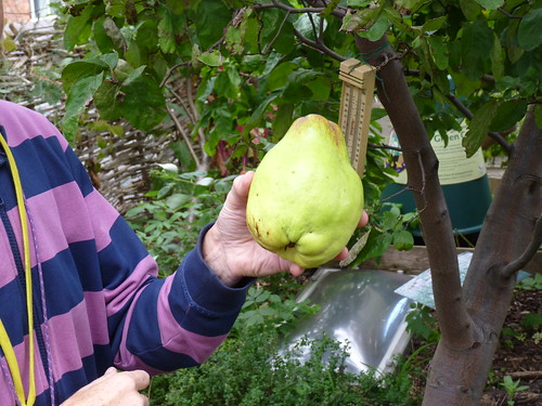 A huge quince!