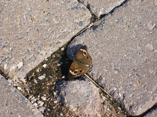 Buckeye butterfly by rjknits