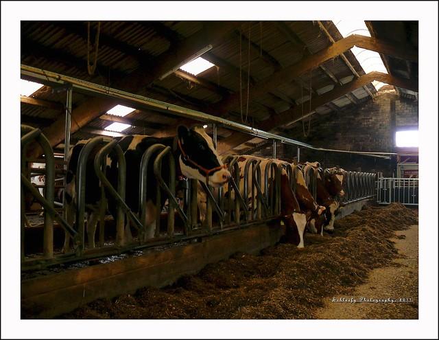 #225/365 Farm: Cows