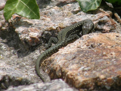 Smaller wall lizard