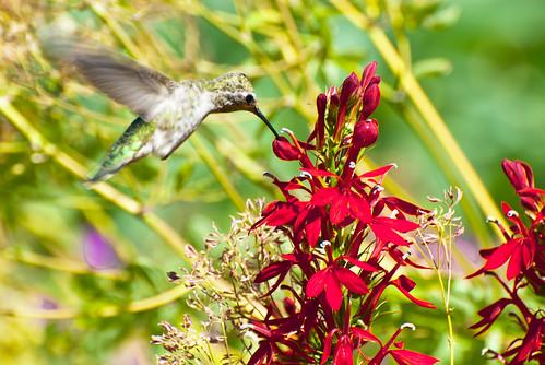 Hummingbird Sip 1 of 4