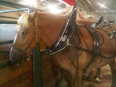 Clydesdales, Oregon State Fair