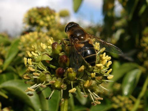 Hoverfly on ivy flower