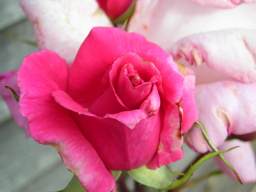 Roses are pink 03