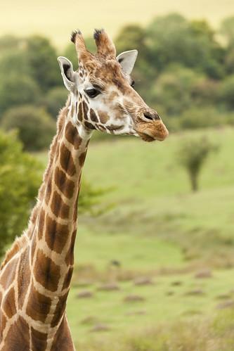 Rothschild Giraffe Portrait
