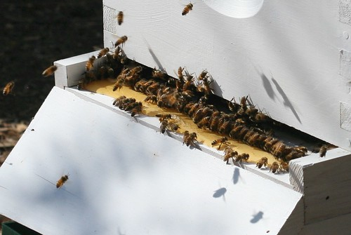 Bees at the trough