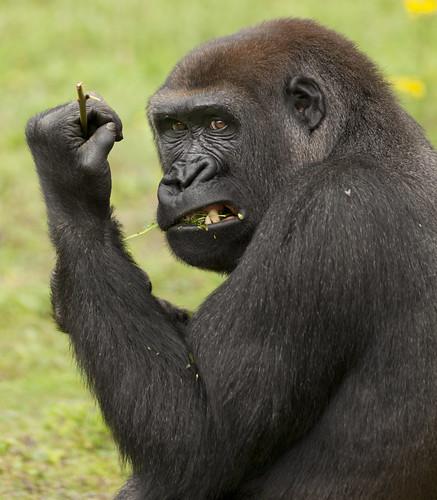 Western Lowland Gorilla Grrrrrrr