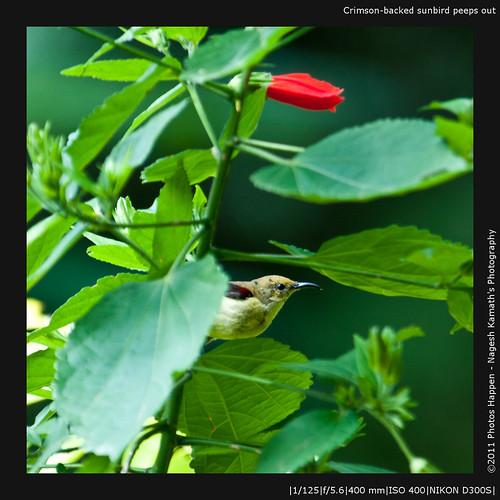 Crimson-backed sunbird peeps out