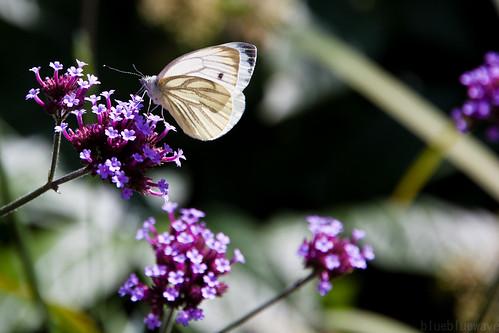 White butterfly on purple flowers