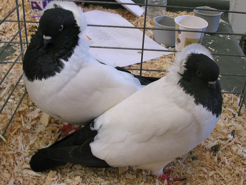 "Domestic pigeons of the ""nun"" variety"