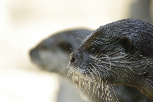 closeup of a serious/thoughtful-looking river otter, in profile. The profile of another otter is visible in the background, out of focus.