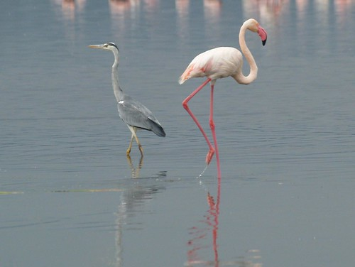 Lesser Flamingo at Lake Nakuru