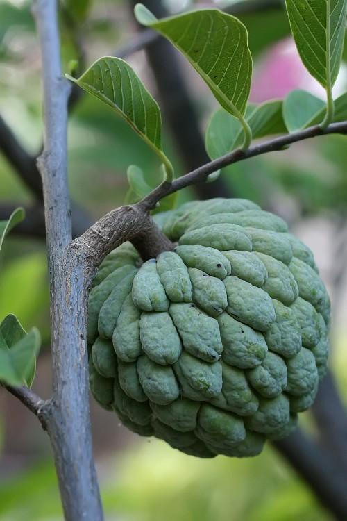 Sugar_apple_on_tree