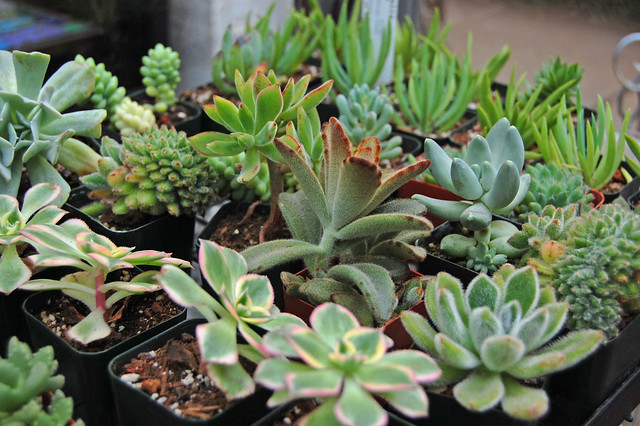 Ton O succulents.