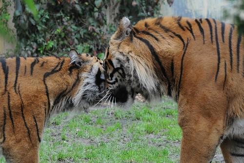 Sumatra-Tiger Boris und Chandra  im Parc zoologique de Champrepus