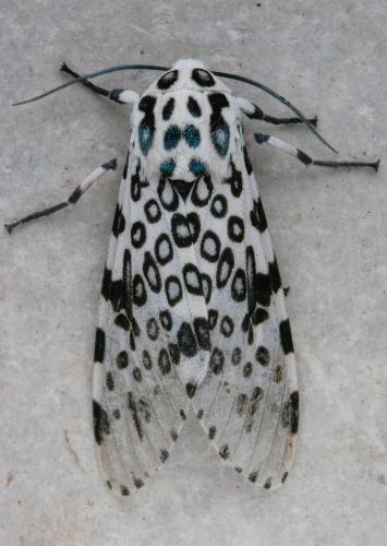 8146 - Hypercompe scribonia - Giant Leopard Moth2