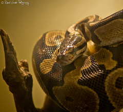 "Royal Python / Python Regius • <a style=""font-size:0.8em;"" href=""http://www.flickr.com/photos/41711332@N00/6353421909/"" target=""_blank"">View on Flickr</a>"
