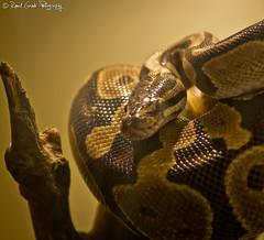 "Royal Python / Python Regius • <a style=""font-size:0.8em;"" href=""http://www.flickr.com/photos/41711332@N00/6353421909/"" target=""_blank"">View on Flickr</a>"