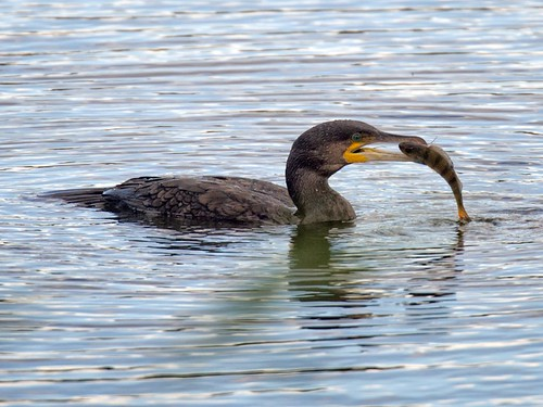 Cormorant with Perch