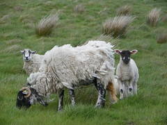 Sheep and lambs spring 2011