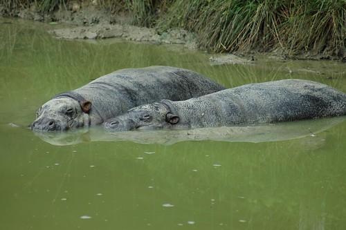 Zwergflusspferde im Tierpark CERZA bei Lisieux in der Normandie