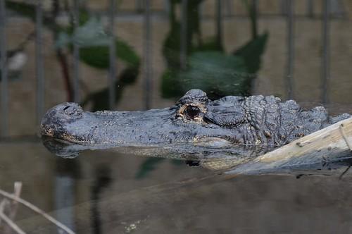 Mississippi-Alligator im Tierpark CERZA bei Lisieux in der Normandie