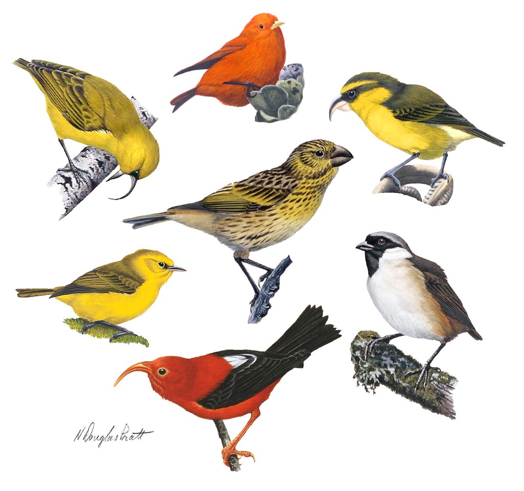 Hawaiian Honeycreepers And Their Tangled Evolutionary Tree