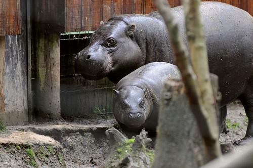 Zwergflusspferde  im Tierpark CERZA in der Normandie