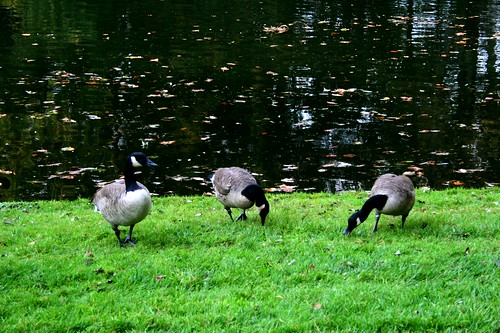 Trio of geese