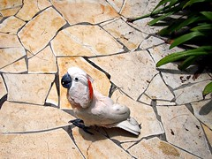Cockatoo, Mana Mana Beach Club, East Coast Park