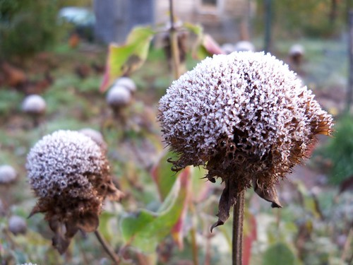 frosty seeds
