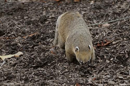 Südamerikanische Nasenbär im Parc zoologique de Champrepus
