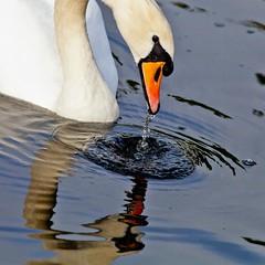 Dribbling swan