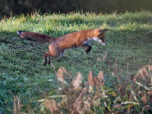 Fox mid-pounce